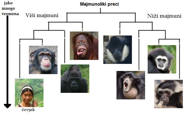 evolucija covjeka